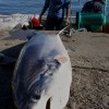 Shark Fishery – Taiwan 2011