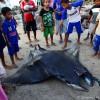 Manta Ray Fishery – Indonesia 2011