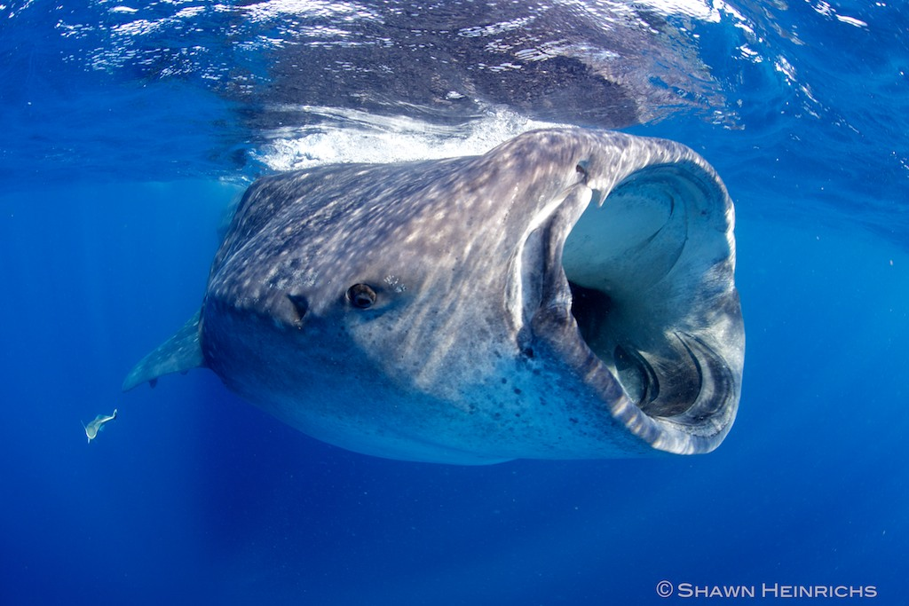 Blue Whale Compared To Whale Shark