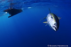 Yellowfin Tuna Fishery UW