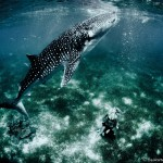 W21: Whale Shark Fashion - A New Frontier - Hannah Fraser