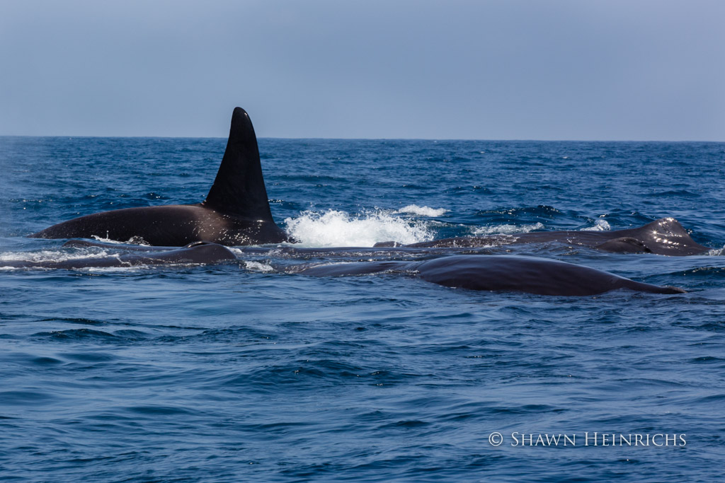 Orca crashes into panicked Sperm Whale group