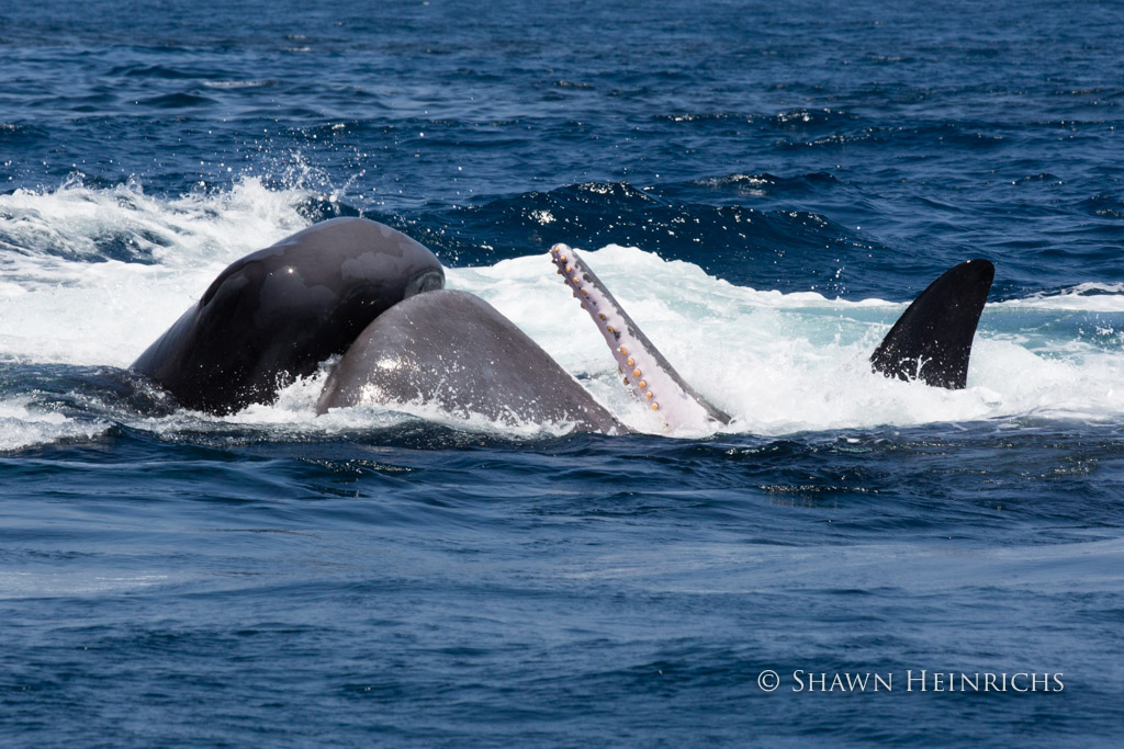 Sperm Whales struggle to survive Orca onslaught