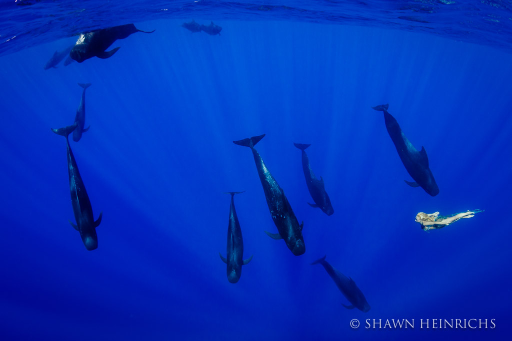 Hannah Fraser swims bravely with a pod of Pilot Whales