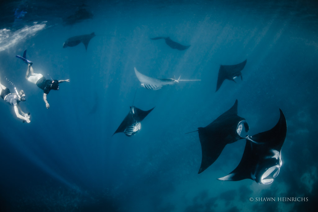 Manta Mayhem with Feeding Mantas