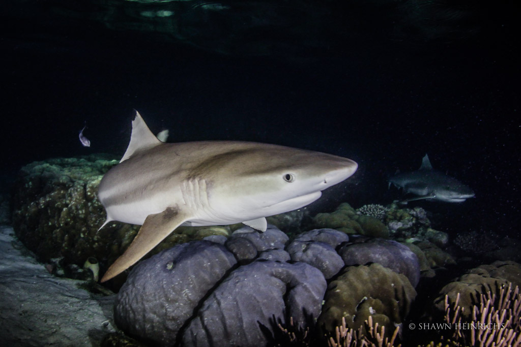 Blacktip Reef Shark in Wayag Reef