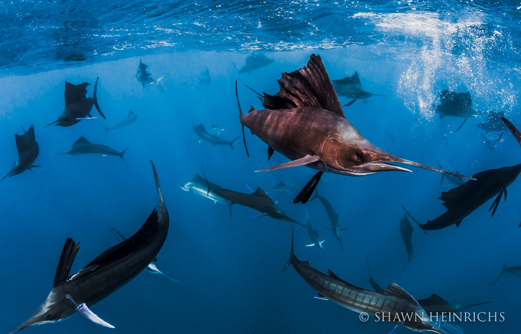 Sailfish baitball with dozens of sailfish