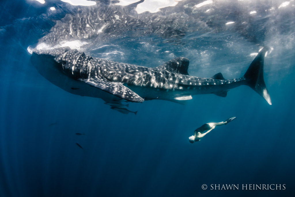 Roberta Mancino drifts below a huge whale shark