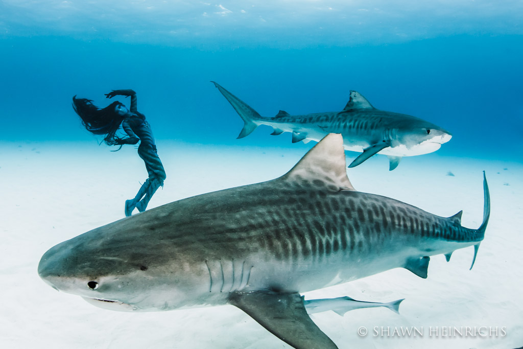 Two massive tiger sharks surround Hannah Fraser