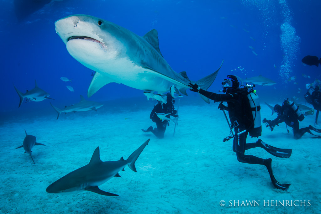 Matt Gutman of ABC News connects with a tiger shark